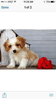 11 5 17 Doylestown Pa Cavalier King Charles Spaniel Meet Griffin A Dog For Adoptio King Charles Spaniel Cavalier King Charles Cavalier King Charles Spaniel