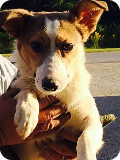 Aspen Breed: Sheltie, Shetland Sheepdog/Foxhound Mix Color: White - With Tan, Yellow Or Fawn Age: Young Size: Small 25 lbs (11 kg) or less Sex: Female ID#: 2014-29
