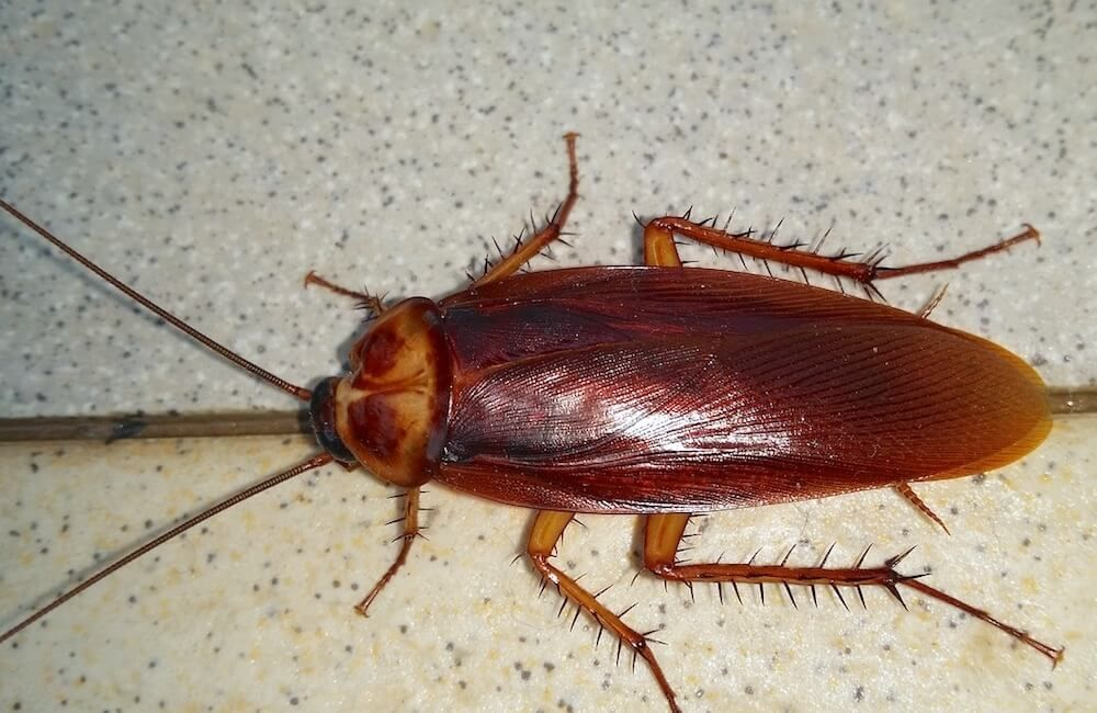 how to get rid of american roaches naturally