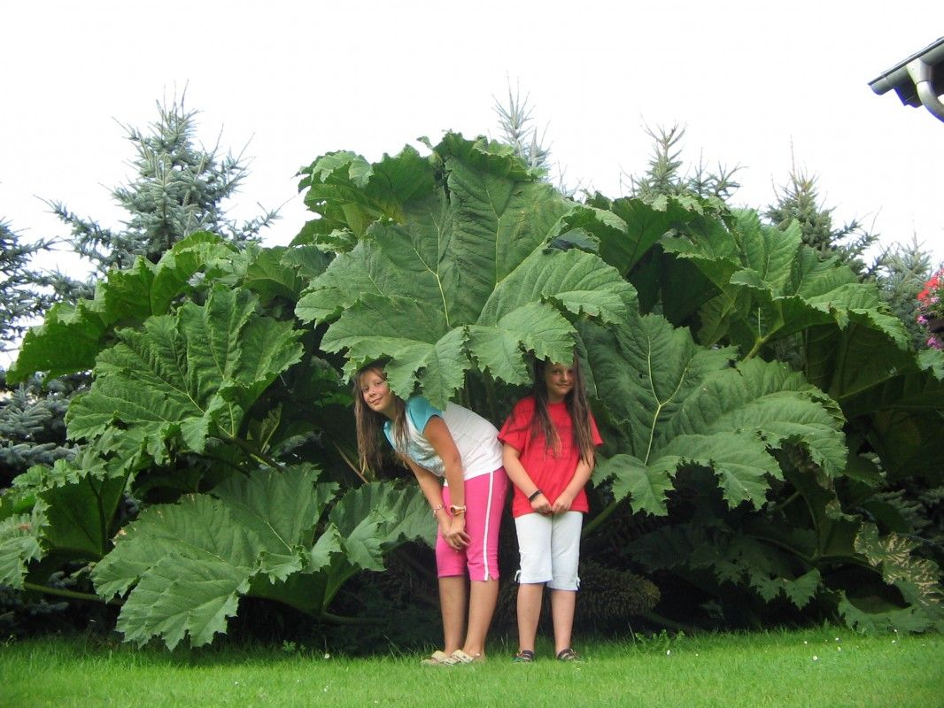 Gunnera manicata native to South America from Colombia to Brazil and