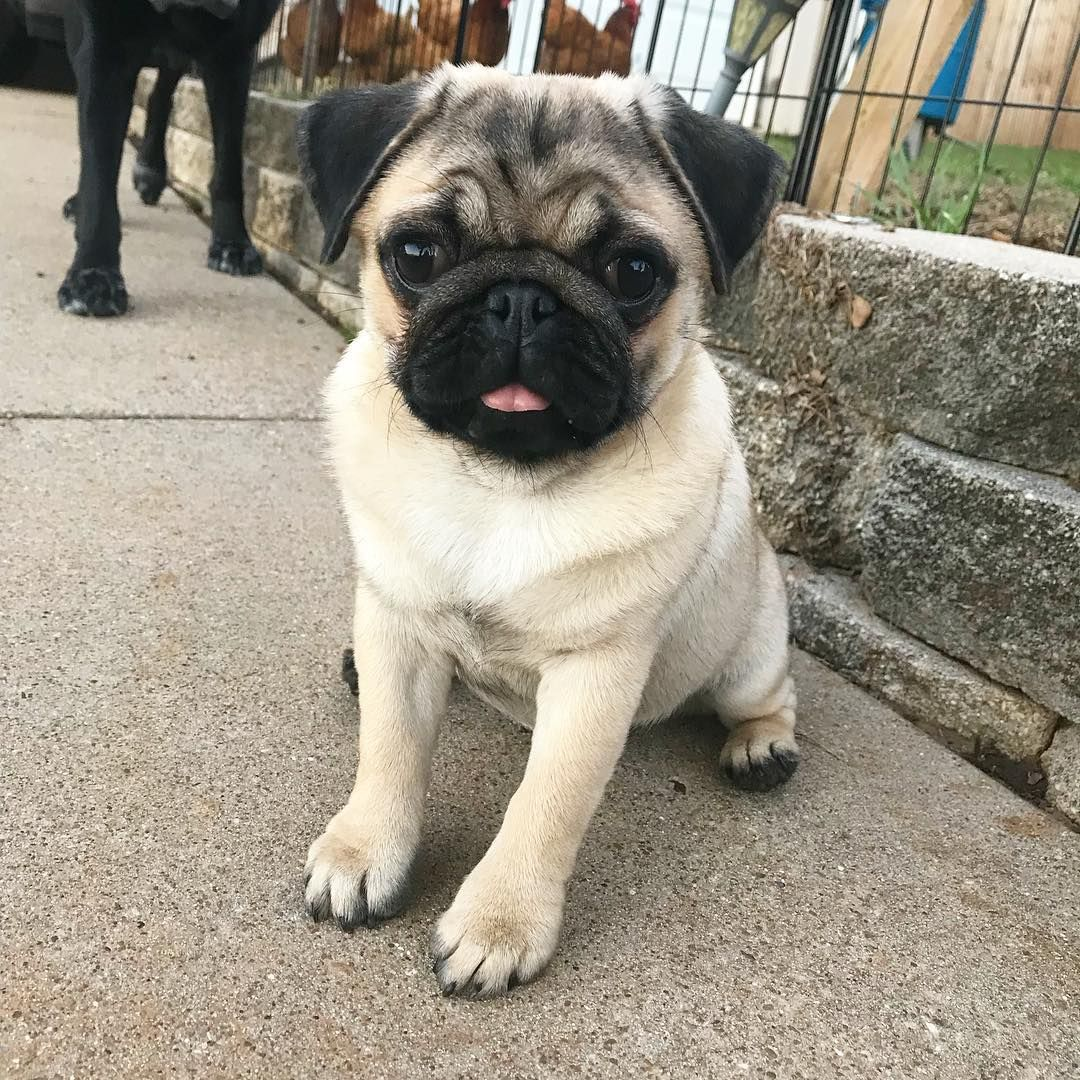 Monday Derp How Is Your Monday Cute Dogs Cute Pugs Pug
