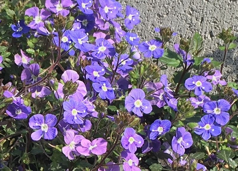 青紫色の花が無数に ベロニカ オックスフォードブルー ズボラな週末ガーデニング 小さなガーデニング 紫色の花 ガーデニング