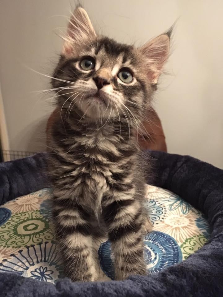 Park Art|My WordPress Blog_Maine Coon Kittens Available Michigan
