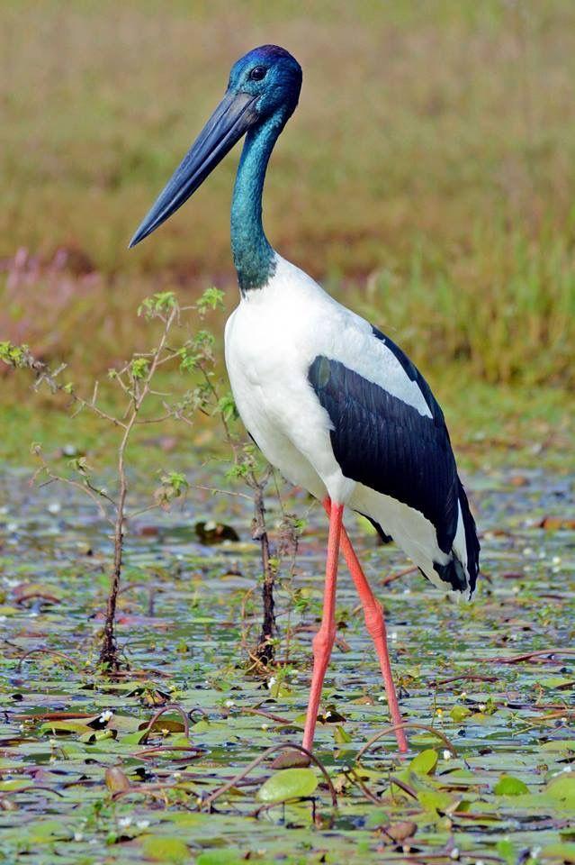 Black Necked Stork Queensland Australia Pretty Birds Animals Beautiful Birds