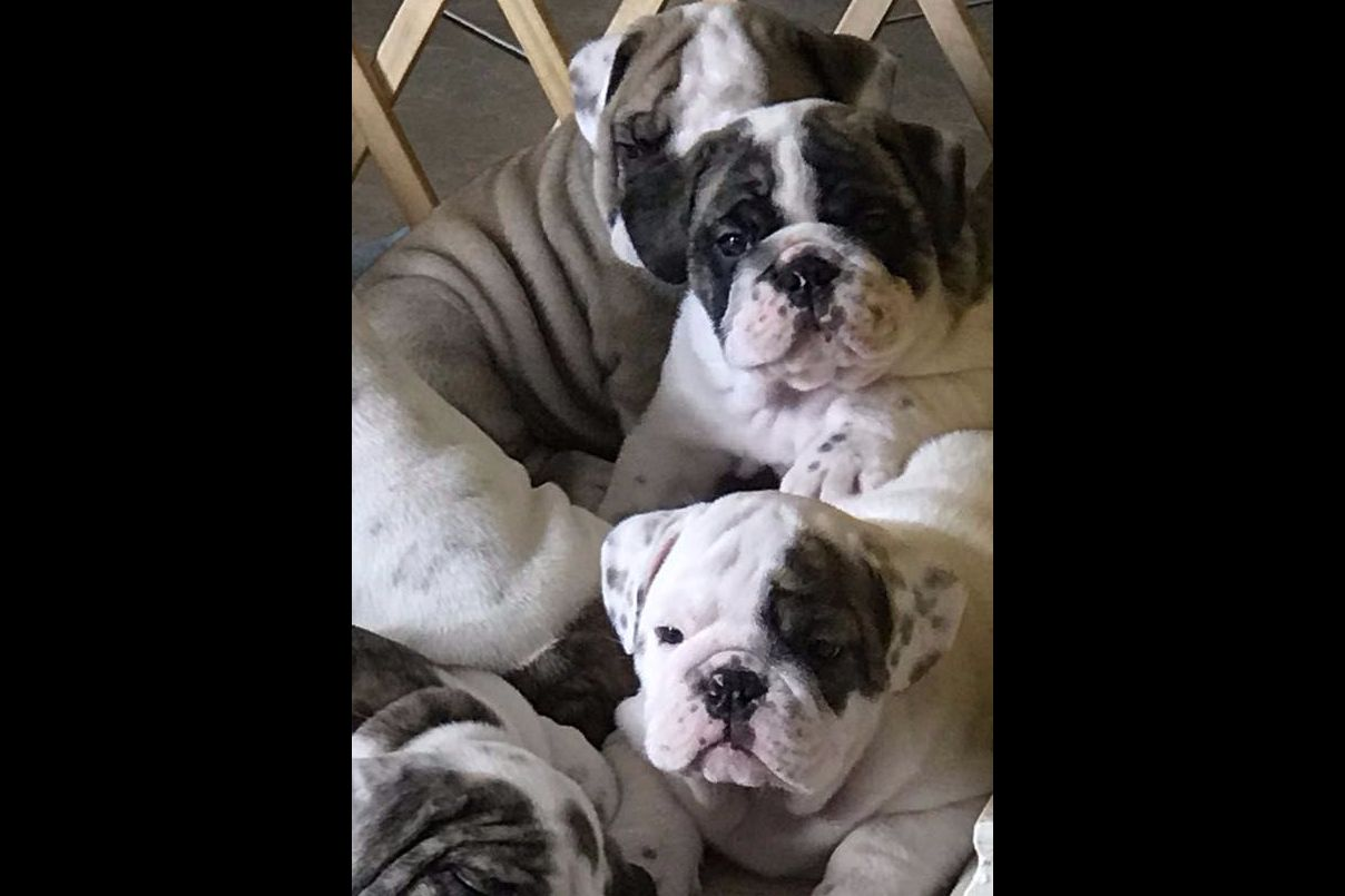 Raul Najera Has Bulldog Puppies For Sale In Converse, TX
