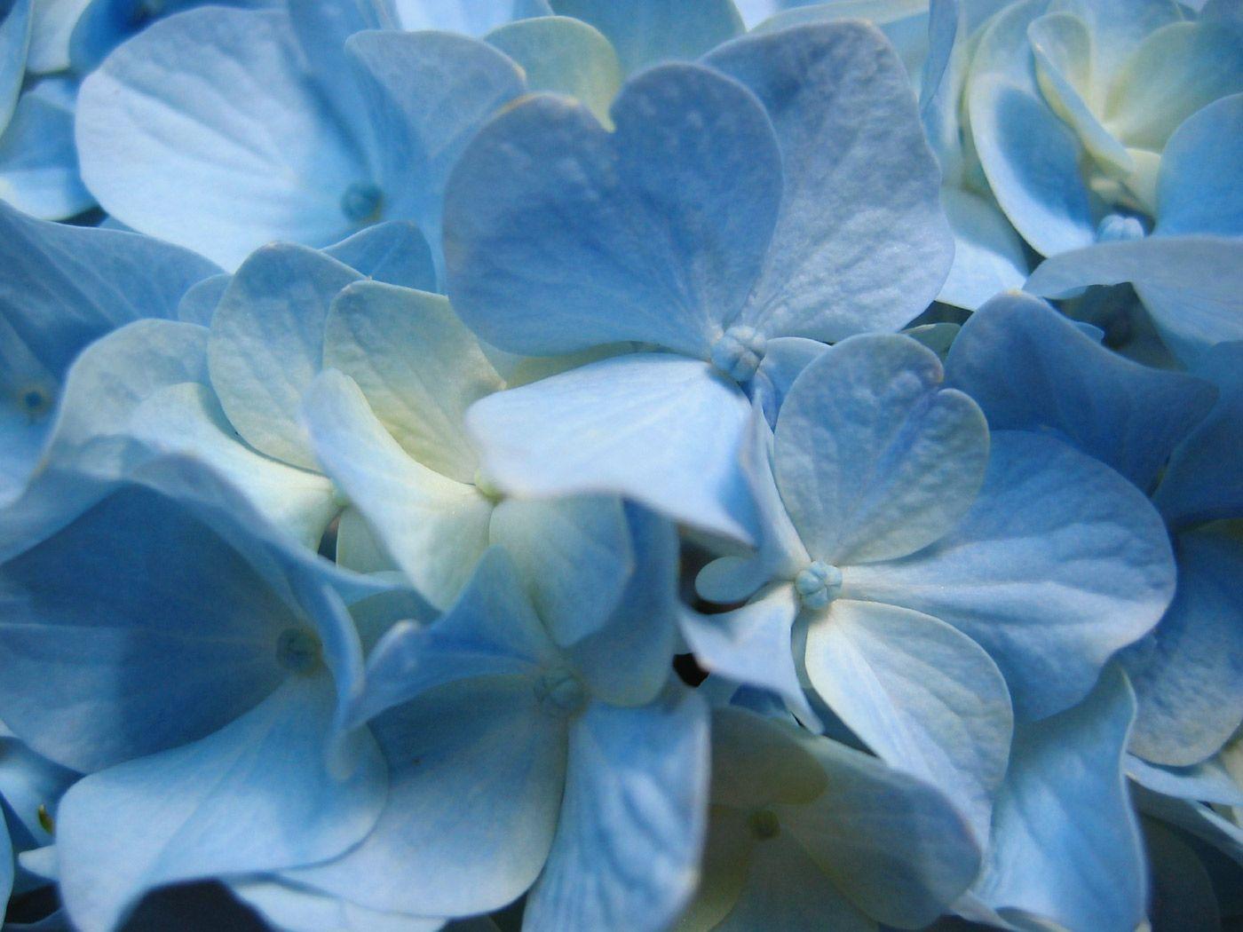 Flowers Background Wallpapers Flower Backgrounds In 2020 Blue Hydrangea Flowers Beautiful Flowers Wallpapers Blue Hydrangea