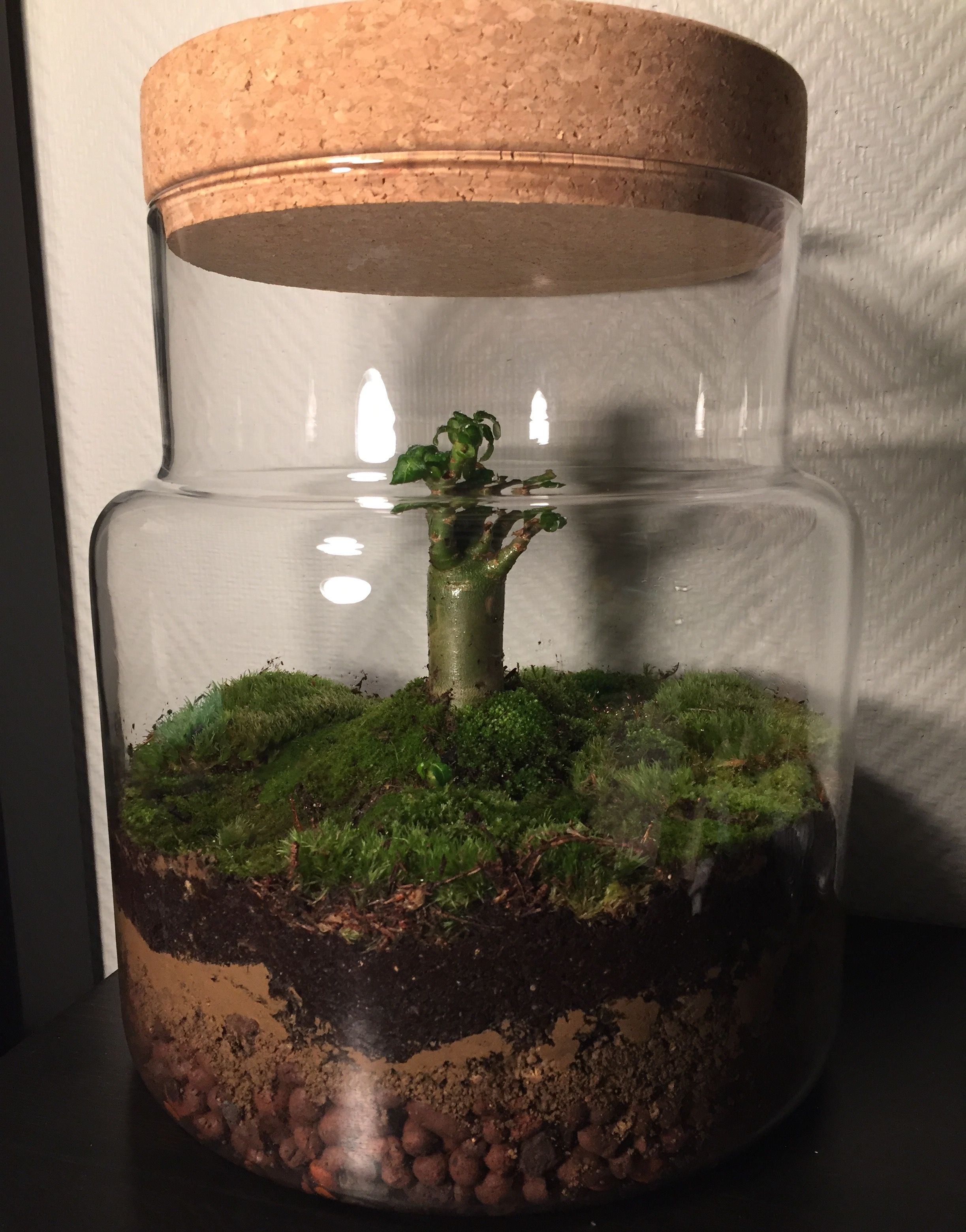 My First Small Ecosystem Adenium Obesum + Moss + Glass