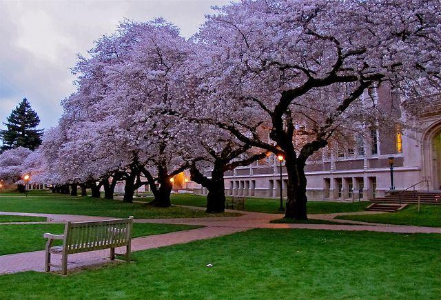 Cherry Trees University Of Washington Spring Landscape Cherry Tree University Of Washington