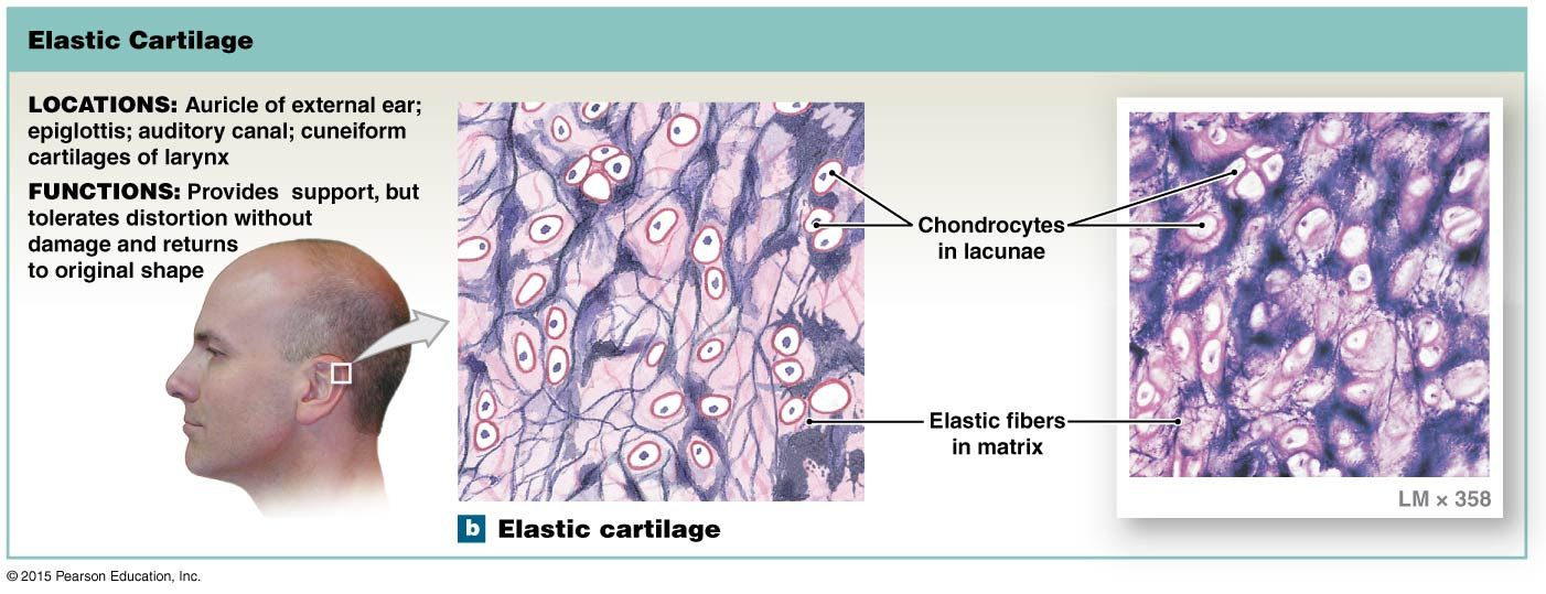 Elastic Cartilage Pearson Education Anatomy And Physiology