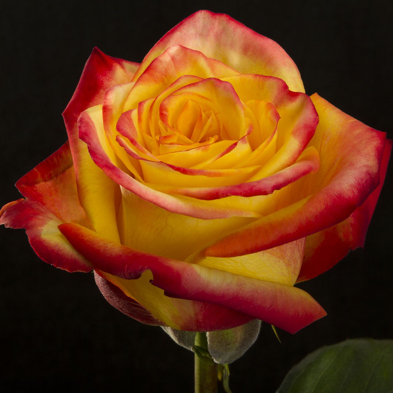 High And Yellow Magic Flame Rose Blooming Rose Beautiful Roses