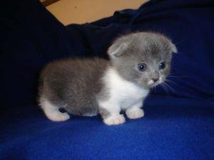Cat Profile For Munchkin A Female Scottish Fold Munchkin Munchkin Kitten Kittens Cutest Baby Animals
