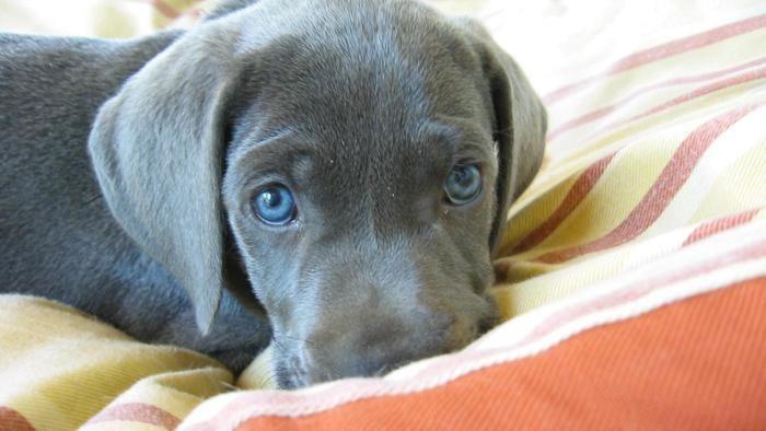 Silver Lab Puppies Google Search Puppies Perros Gran