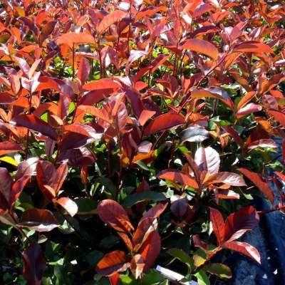 photinia 39 red select 39 plantes de haie pinterest arbuste plante haie et arbuste haie. Black Bedroom Furniture Sets. Home Design Ideas