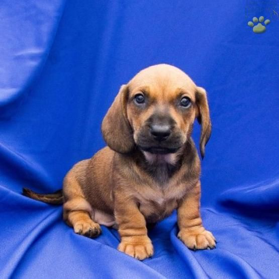 Truffles Dachshund Puppy For Sale In Walhonding Oh Buckeye