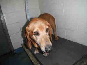 Florida Urg T Meet Snoop Id A243435 An Adoptable Basset