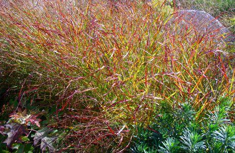 Grasses - carex testacea aka Prairie Fire
