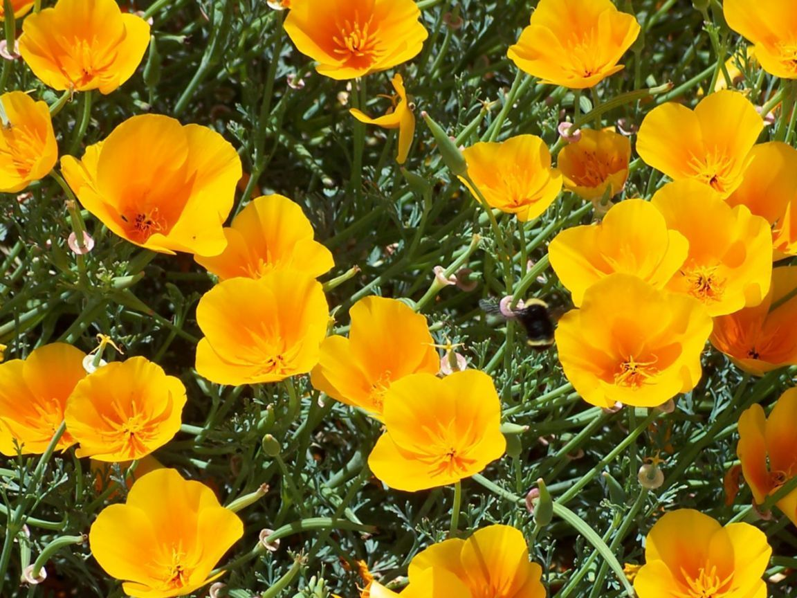 State Flower Of California Usa Flowers Birds Pinterest Poppies And Us States