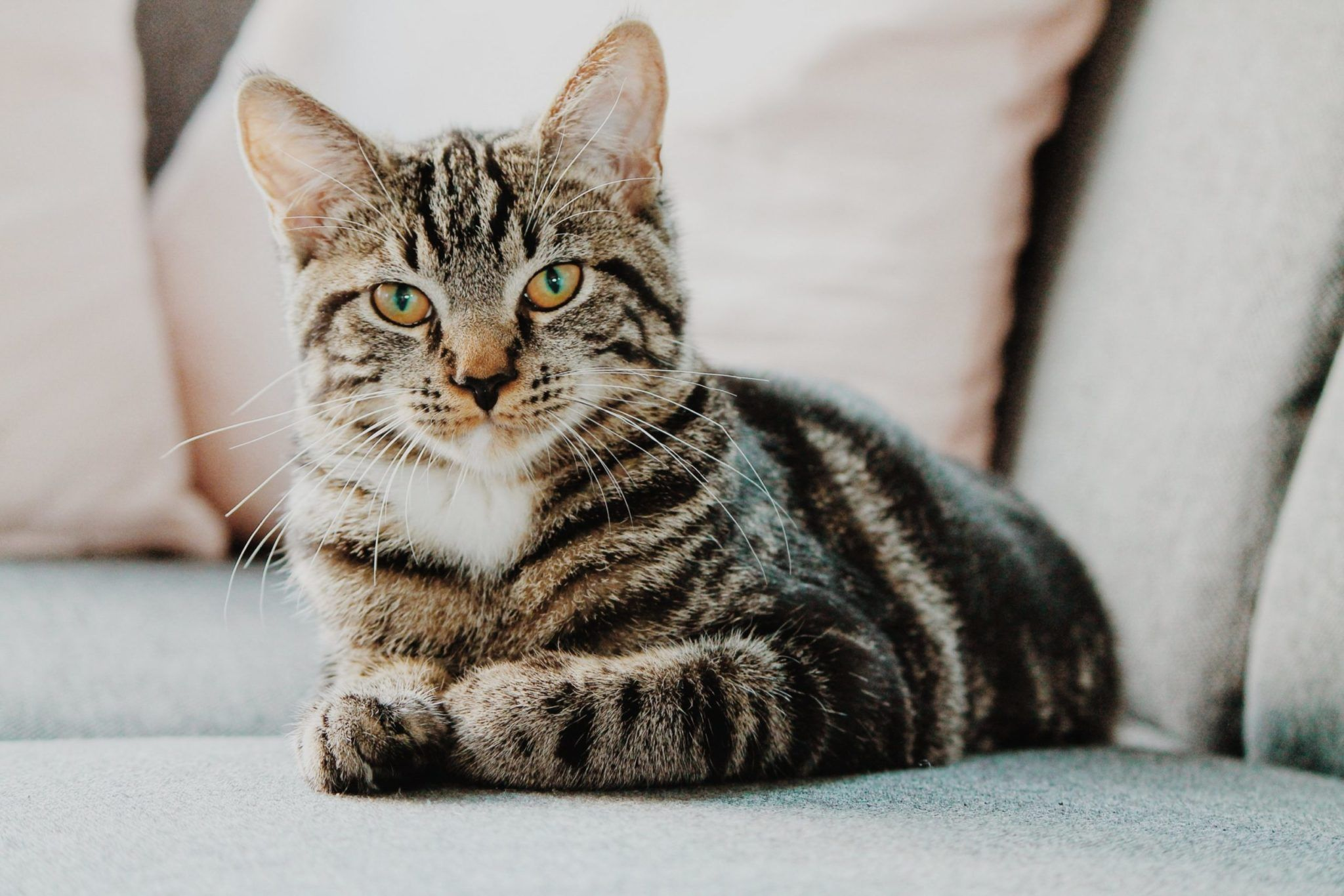 At What Age Are Cats Considered Full Grown Cat Ilovecats Cutecats Lovely Cute In 2020 Tabby Cat Grey Tabby Cats Cat Pics
