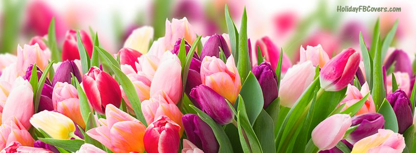 Spring Accommodation Facebook Covers: Spring Day Fresh Pink Purple Tulips Facebook Cover