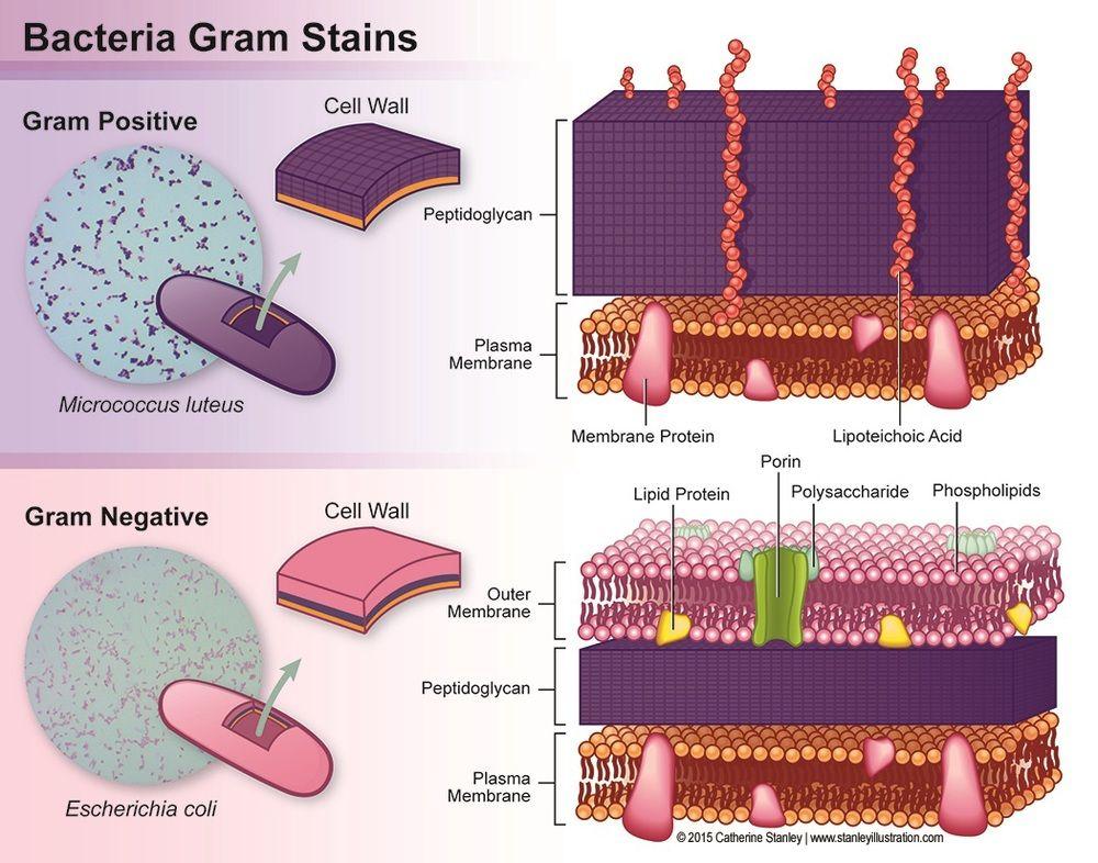 Image result for gram positive vs gram negative