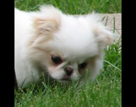 Picture 1 Of 3 Pictures And Images Japanese Chin Animals A Z Animals Animal Facts Information Japanese Chin Puppies Japanese Chin Dog Japanese Chin