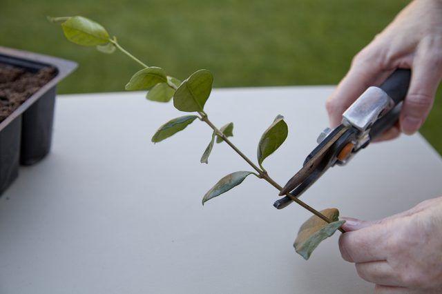How To Propagate A Jasmine Vine Hunker Jasmine Plant Jasmine Vine Pruning Jasmine
