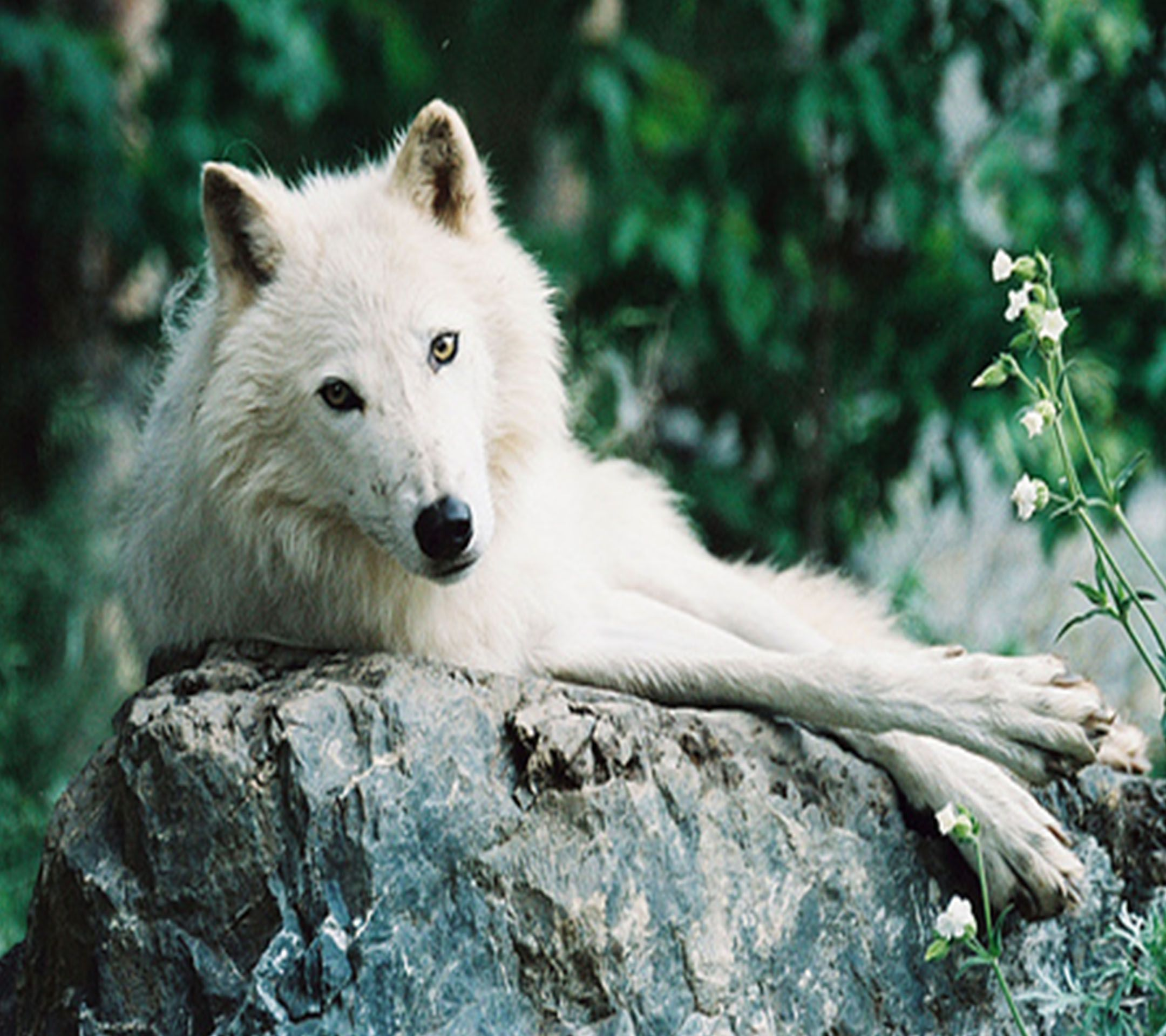 White Wolf Lying Stone Tap to see more of the top wolf