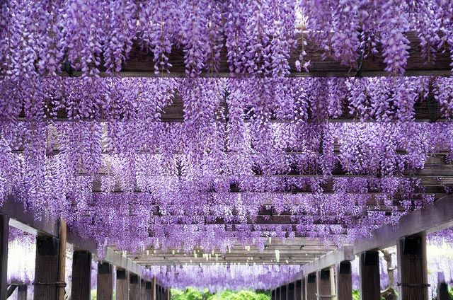 Photo Of The Day Perfect Rows Of Purple In Japan Wisteria Purple Garden Purple Wisteria