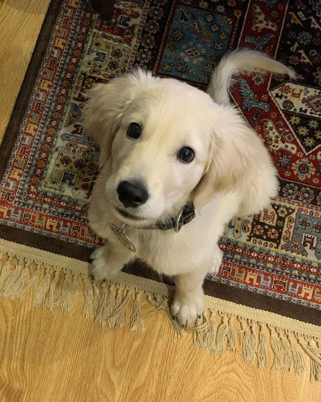 30 Best Dog Names For Gorgeous Golden Retrievers Pictures Dogtime In 2020 Dog Names Best Dog Names Golden Retriever
