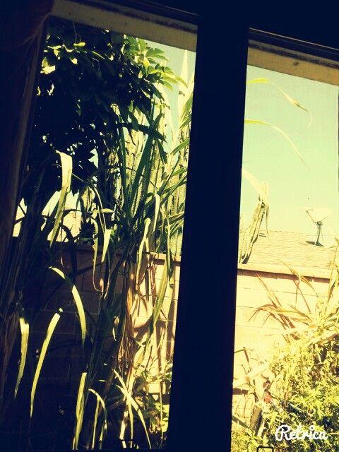 California sugar cane
