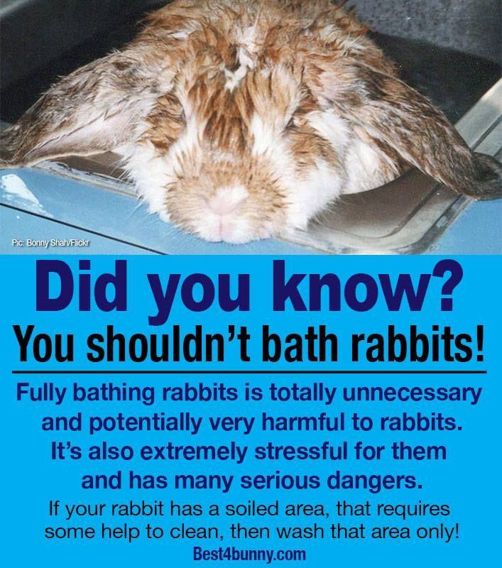 Rabbit Care Advice Holland Lop Bunnies Rabbit Pet Bunny Rabbits