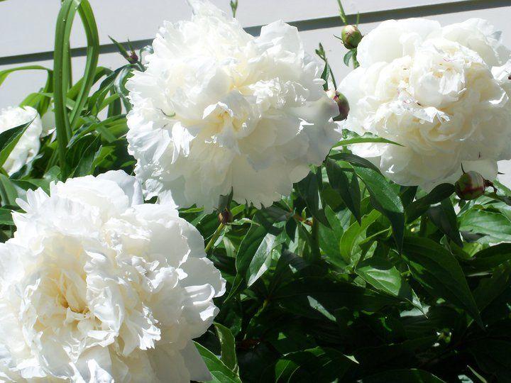My ginormous Peony flower!! Love