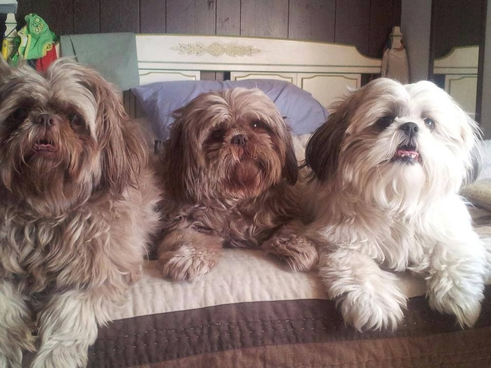 Pin By Sylvia Coons On Shih Tzu Shih Tzu Puppy Cute Little Dogs Cute Little Puppies