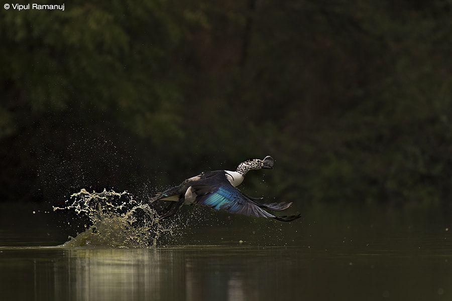 Knob-billed Duck | Sarkidiornis melanotos by Vipul Ramanuj - Photo 174884867 / 500px