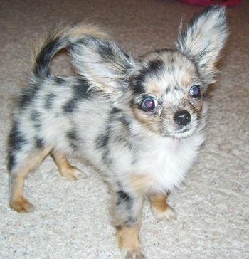 Roxi A Long Haired Chihuahua Puppy Chihuahua Puppies Dog