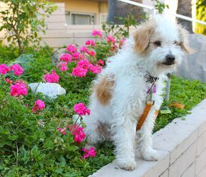 Adopt Starla On Terrier Poodle Mix Jack Russell Dogs Poodle Mix