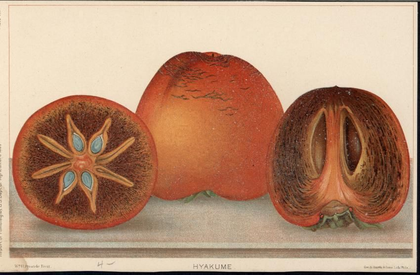 Hyakume Persimmons Fruit 1889 antique color lithograph print #Vintage