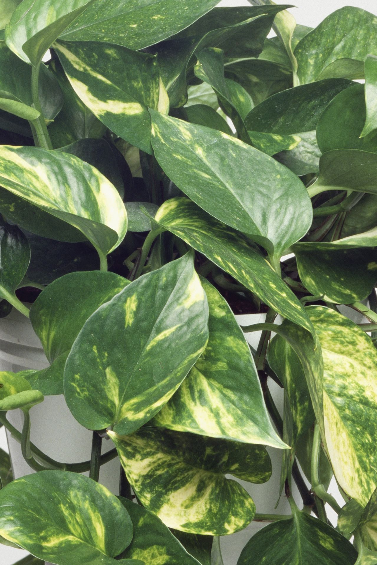 the 25 indoor plants you cant kill - House Plants Vines