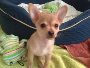 Patrick Is An Adoptable Chihuahua Dog In Orlando Fl Hey Hey Hey