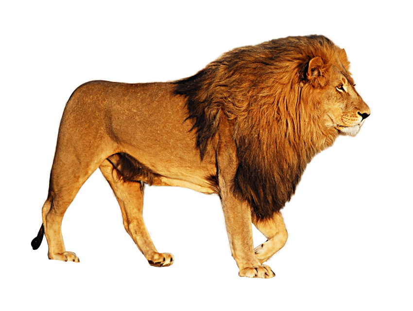 Get To Download Free Sher Lion Clipart Vector Png Sher Png Vector In Hd Quality Without Limit It Comes In Need For Using Sher Png Images Png Lion Background