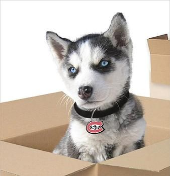Siberian Husky Puppy Representing St Cloud State University
