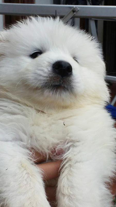 Jual Puppy Samoyed Berkualitas Bagus Anjing Samoyed Anjingkita