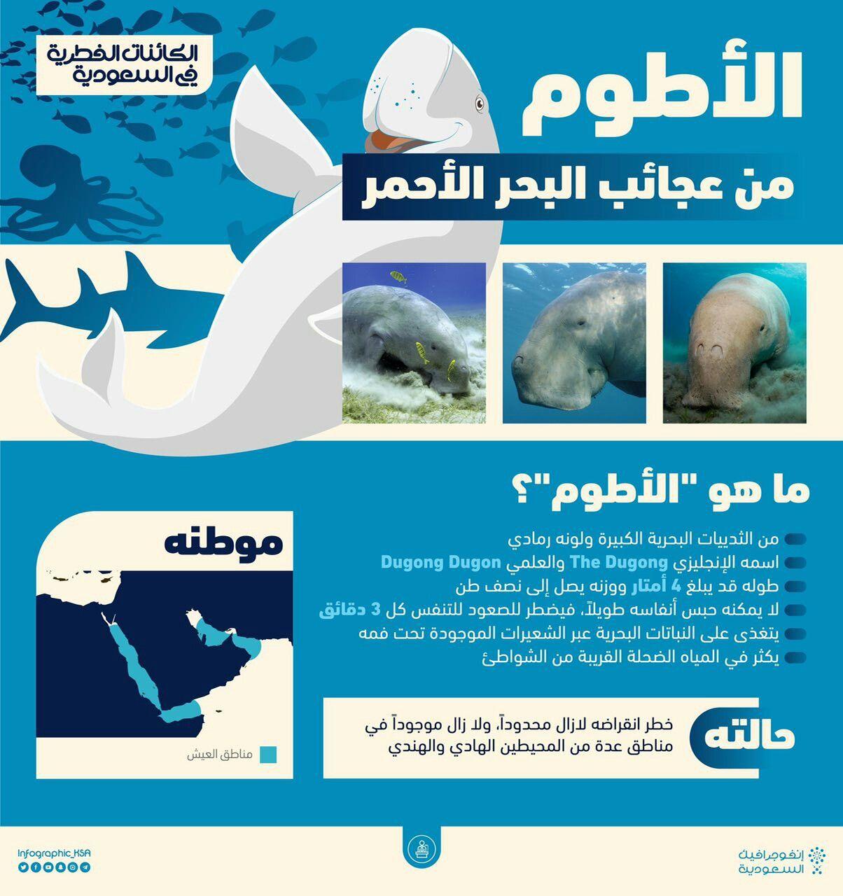 الأطوم كائن بحري ضخم يقتات على النباتات البحرية قد لا تصدق أنه موجود في البحر الأحمر قرب السعودية ويعد جزءا من حياتنا الفطري Dugong Joy Riyadh