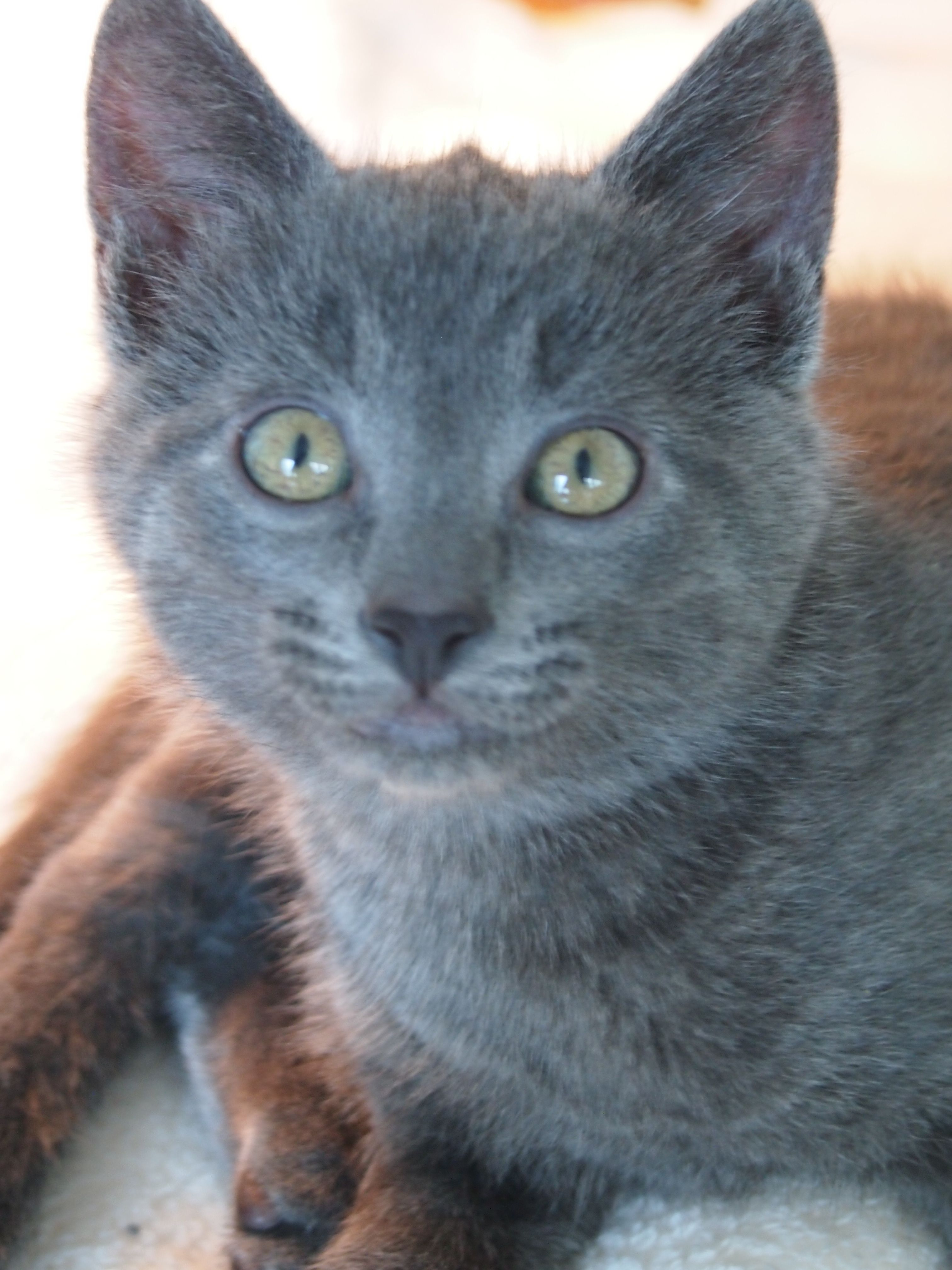 Chartreux Kitten 3 Months Chartreux Cat Chartreux Kittens Cute Baby Animals