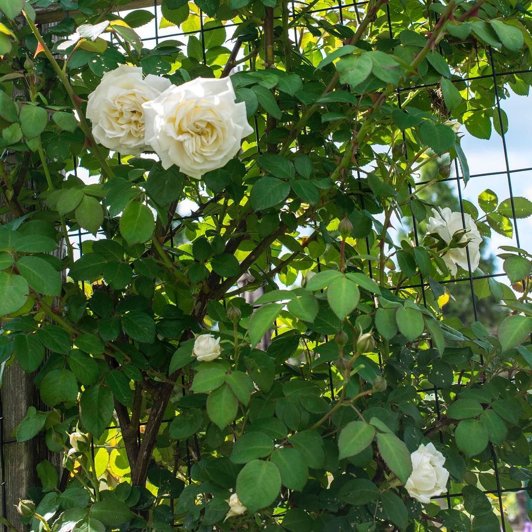 Cloud 10™ is a pure white climber that will rebloom