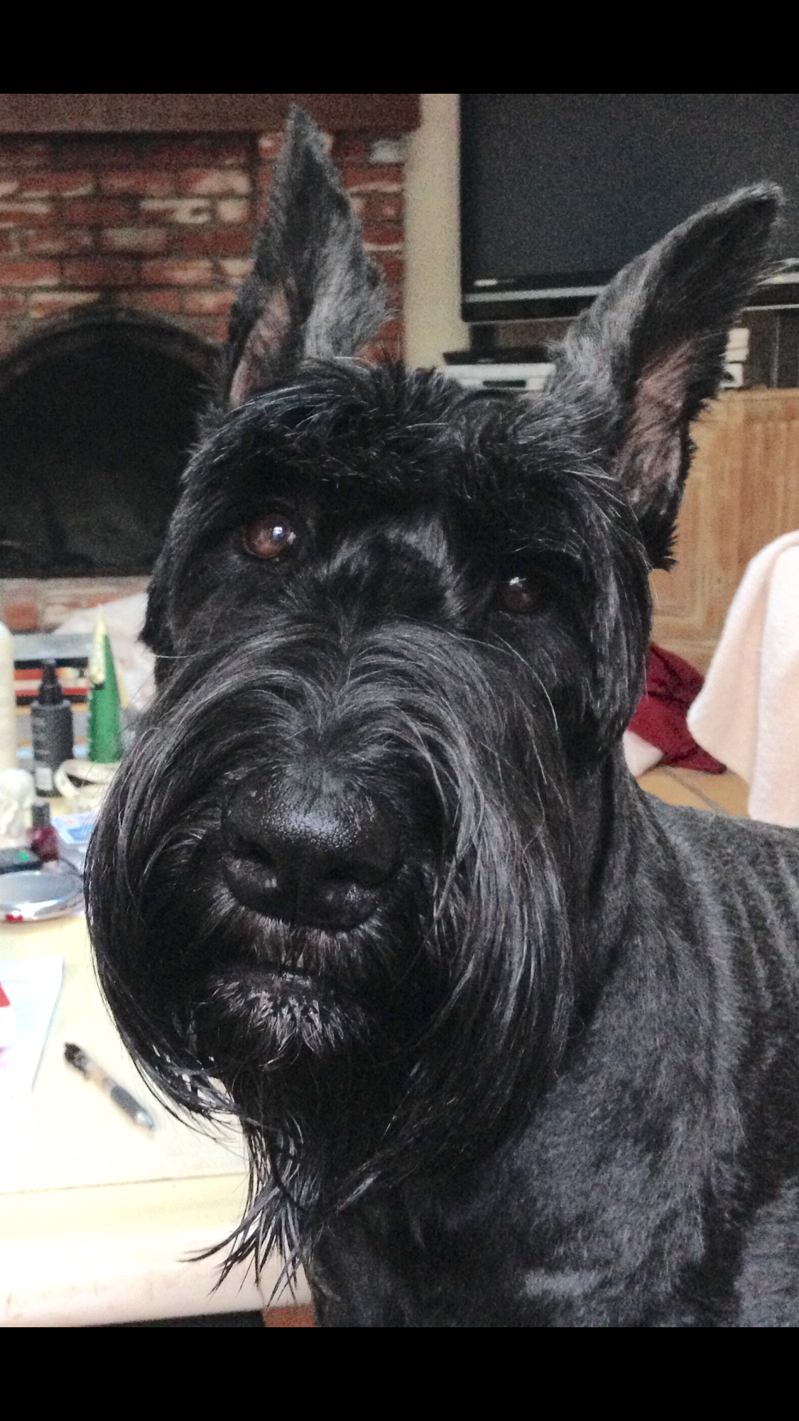 Pin By Joan Chimento On Giant Schnauzers