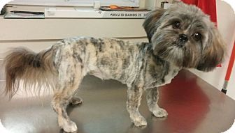 Lhasa Apso Shih Tzu Mix Dog For Adoption In Hammonton New Jersey Minnie Lhasa Apso Dog Adoption Pets