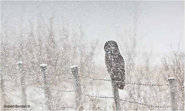 Great Gray Owls - Phantoms of the North