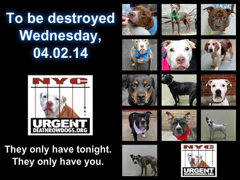 TO BE DESTROYED - 4/2/14 PITTIES ARE IN DANGER AGAIN. ALL THESE DOGS COUNT ON US!!! LET'S NOT LET THEM DOWN!!! PLEASE OPEN YOUR HEARTS AND PLEDGE, TAKE THEM HOME, BUT BE QUICK AS TIME IS TICKING AWAY. THE LIST IS VERY LONG AGAIN AND WE WE HAVE SOLITTLE TIME SO BE QUICK WHEN MAKING UP YOUR UP. https://www.facebook.com/media/set/?set=a.611290788883804.1073741851.152876678058553&type=3