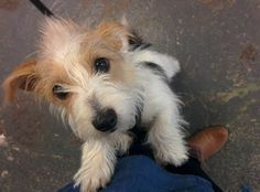Zack, a Cute Jack Russell Terrier Dog